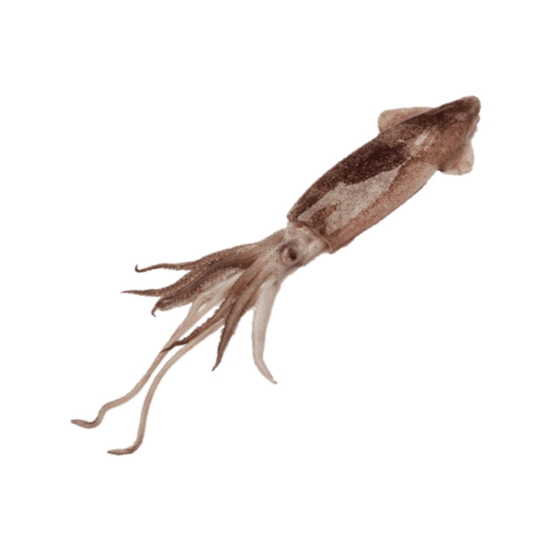 squid-b.png